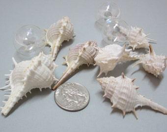 Beach Decor White Murex Shells - Nautical Seashells, White Murex. 2in, 6pc