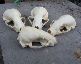 Craft Grade Badger Skull-  ONE Assorted Skull