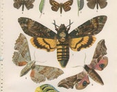Death's Head Moth, Duskywing, Skipper, 1926 Vintage Butterfly Print 7 Kirby, English Country, Cottage Decor