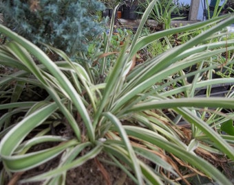 Organic grown plants, seeds Spider Plants. different leaf colorings
