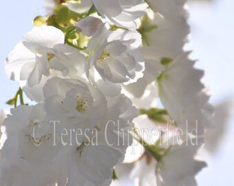 White Blossom Photography, Spring Flowers, Sunshine Print, Soft Gentle Floral Photo, Hint of Pink, Dreamy Translucent Garden Chic Decor,8x10