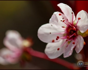 Weeping Cherry blossom Fine Art  Photographic  Print