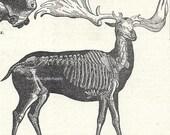 1902 Vintage Illustration Skeletons Large Extinct Animals