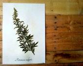 Common Mugwort Herbarium Specimen - Real Pressed Botanical Art