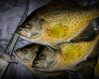 Mess of Fish with Black Crappie Panfish and Filet Knife No.0155 A Fine Art Fishing Outdoor Sport Nature Photographic Print