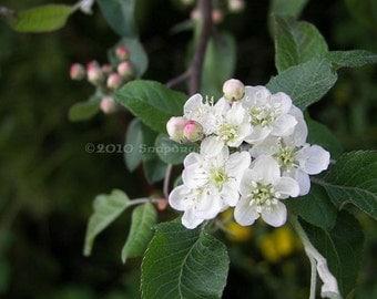 Apple Blossom Floral 8x10 Color Photograph