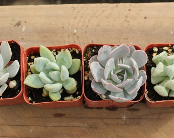 """4 Sample 2"""" Succulent plants Collection plastic pots succulents great for gifts & WEDDING FAVORS+"""