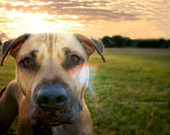 Dog Photography, Pit Bull, Photography Print, Dogs, Puppy, Pit, Bull, love