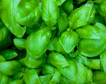 SALE Basil Sweet Classic Variety Grown to Organic Standards Most Popular Variety Excellent Traditional Flavor Heirloom Seeds