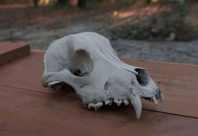 Coyote skull anatomy - photo#41