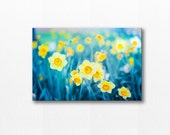 nature photography canvas art floral daffodil canvas 12x12 24x36 fine art photograph flower canvas print gallery wrap teal yellow wall decor