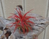 "Tillandsia Ionantha  ""Red"""
