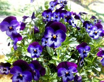 Organic Candied Flowers, Edible Violas, Cupcake Toppers, Wedding Cakes, Purple, Blue