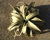 Xerographica Air Plant Small