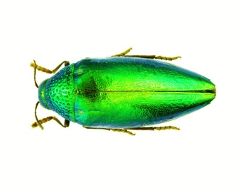 "1.5+"" Real Jewel Beetle Sternocera ruficornis iridescent dried preserved insect emerald green bug taxidermy"