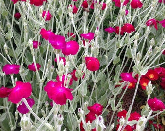 Rose Campion Seed Lychnis Seeds Lychnis coronaria Rose Campion Seeds Heirloom Seeds Fresh Seed From This Year's Crop