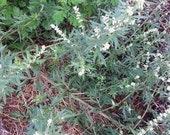 Mugwort Seed - Artemisia vulgaris - medicinal herb