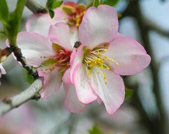Apple Blossoms Photo, pink flower photography, girl nursery decor, nature wall art, fine art floral print