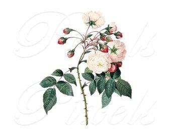 ROSE Instant Download Wedding Clipart Digital Image Adelaide d'Orleans botanical illustration Redoute 066
