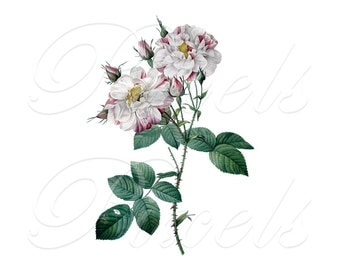 ROSE of Redoute, Instant Download, wedding images, pink roses, pink rose, Digital Downloads pink flowers clipart 420