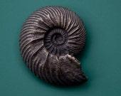 Cardioceras ammonite fridge magnet
