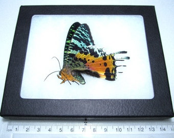 Real Real Butterfly madagascar rainbow sunset moth Chrysiridia rhipheus live mount framed butterfly insect