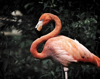 Flamingo Photo, pink, red, dark green, 8 x 10 fine photography print, Flamingorgeous