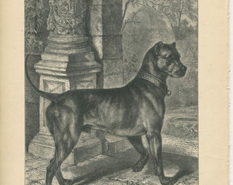 Vero Shaw - Antique Dog Print - Original lithograph  - 1881 Book Of The Dog - German Mastiff