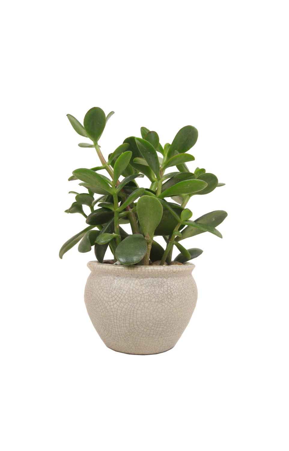 how to cut back a jade plant