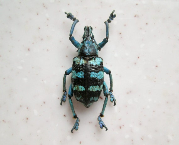 Real Dried Black Stripe Weevil Specimen Bug Insect