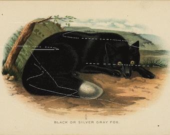 Antique Original  Natural History Colored Animal Print-   Fox - Black Or Silver Gray Fox