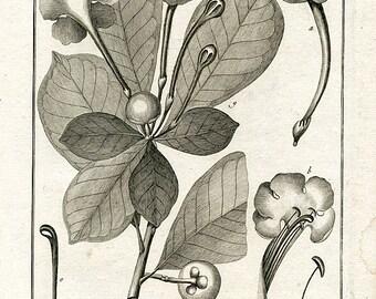 Original Antique Botanical engraving from Encyclopedie Methodique -Lamarck  1782