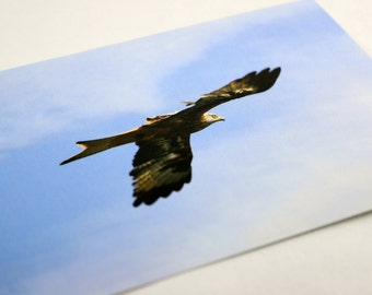 Red Kite unique A6 glossy postcards & mounted prints by Grey Feather Photography