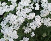 75 - Heirloom Yarrow Seeds - White - Heirloom Herb Seeds, Medicinal Herb Seeds, White Yarrow Seeds, Heirloom Flower Seeds, Non-gmo Herb Seed