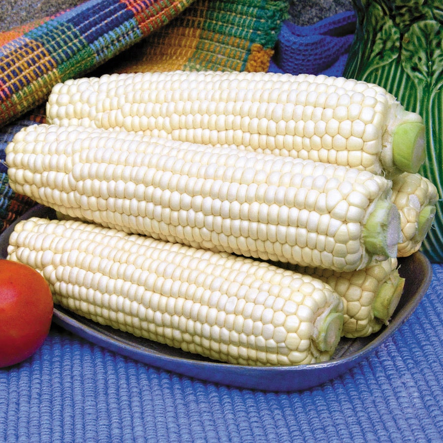 Heirloom White Corn Seed Garden Vegetable Use As Corn
