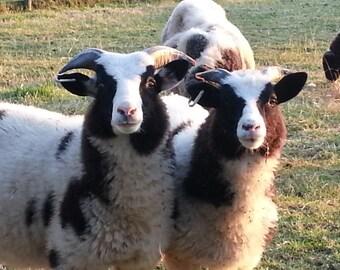 Raw Jacob fleece , Jacob wool, unwashed fleece, spinning fibre, felting fibre, raw fleece, unwashed fleece, 3.5 ounces, 100g