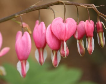 Picture Of Bleeding Heart Flowers ~ Instant Download Photograph By Benjamin Failor