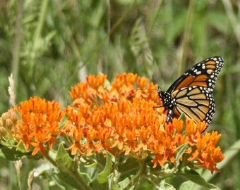 Monarch on Orange Blossom Print
