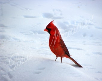 Cardinal, winter cardinal, nature photography, animal photo, winter art, winter, snow bird, cardinal art, nature, bird art, male cardinal