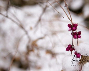 Pink Berries, Winter Photography, Nature Photography, Snow Print, Wall Art, Home Decor, Midwest Photography, Nebraska Art, Winter Foliage