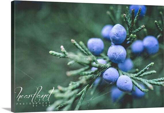 Matte Color Canvas, Blue and Green, Juniper Berries, Macro Photography, Evergreen Tree, Nature Photograph, Nebraska Images, Winter Canvas