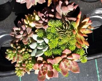 Succulent Plant Mature Assortment. Beautiful assortment of colorful succulents!