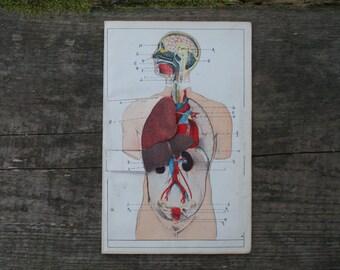 1893 - Human Body Diagram - Antique Anatomical Print