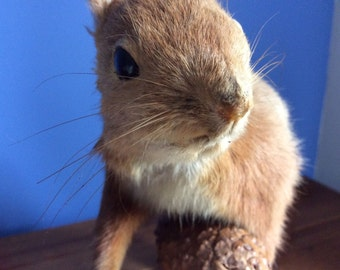 Beautiful Vintage European Red Squirrel taxidermy - REDUCED from 110e to 90e