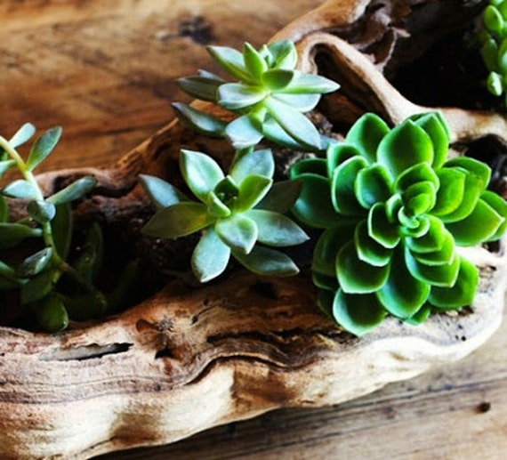 Driftwood For Succulents Centerpiece 6 Pieces DIY Beach