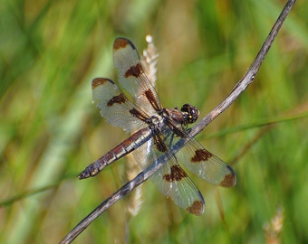 Dragonfly in Spring