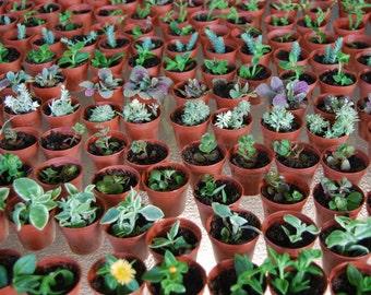 "Terrarium Lot of Three - Miniature Fairy Garden Plant - Mixed Set of 3 Plants in 2"" Pots :)"