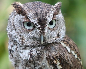 Eastern Screech Owl # 2