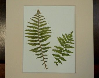 Real Pressed Ostrich Ferns Botanical Herbarium Specimen Art 11x14 with Mat