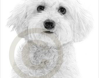 Toy Dog Bichon Frise pencil drawing print - A4 size - artwork signed by artist Gary Tymon - Ltd Ed 50 prints only - pencil portrait